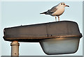 J3775 : Black-headed gull, Sydenham, Belfast (January 2017) by Albert Bridge