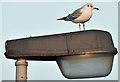 J3775 : Black-headed gull, Sydenham, Belfast (January 2017) by Albert Bridge