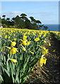 SW7828 : Daffodils in flower at Chenhalls by Rod Allday