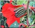 TQ7818 : Large white caterpillars, Churchland Lane by Patrick Roper