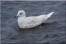 HP5605 : Iceland Gull (Larus glaucoides), Westing by Mike Pennington
