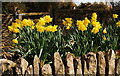 ST8080 : Daffodils, Acton Turville, Gloucestershire 2014 by Ray Bird