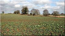 TG3204 : Oilseed rape crop field by Evelyn Simak