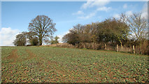 TG3204 : Young oilseed rape crop by Evelyn Simak