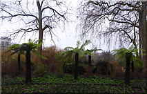 TQ2979 : Tree ferns in St. James' Park, London by pam fray