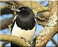 TQ0658 : Wisley - Magpie by Colin Smith