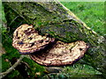 H5269 : Tree fungus, Tattykeeran by Kenneth  Allen