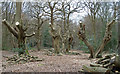 TQ4794 : Pollarded trees in Hainault Forest by Roger Jones