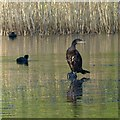 ST2885 : Cormorant, Tredegar House Country Park, Newport by Robin Drayton