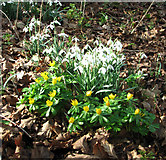 TG2202 : Snowdrops and winter aconites (Eranthis spec) by Evelyn Simak