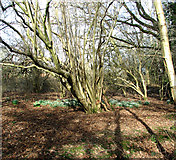TG2202 : Snowdrops on Dunston Common by Evelyn Simak