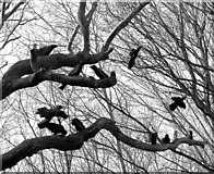 TG2202 : Rooks on an old oak tree by Evelyn Simak