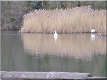 SO8991 : Reed Swans by Gordon Griffiths