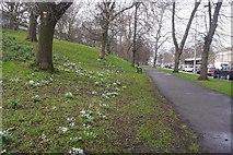 NT2674 : Snowdrops, Royal Terrace Gardens by Richard Webb