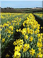 SW7731 : Daffodils at Tresooth Farm by Rod Allday