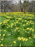 TQ2979 : A host of golden daffodils in St. James's Park, London by pam fray