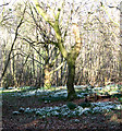 TG2004 : Wild snowdrops by Evelyn Simak