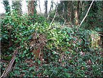 TG2004 : Ivy-clad brick wall by Evelyn Simak
