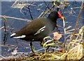 TL0037 : Moorhen  at  the  edge  of  Valley  Lake  Center  Parc  Woburn by Martin Dawes