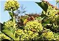 TQ7818 : Hornet on ivy blossom, Churchland Lane by Patrick Roper
