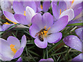 TQ3499 : Crocus with Honey Bee, Myddelton House Garden, Enfield by Christine Matthews