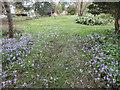 TQ3499 : Crocus,  Myddelton House Garden, Enfield by Christine Matthews