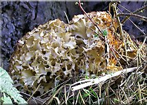 TQ7917 : Wood cauliflower fungus, Oaklands Park by Patrick Roper
