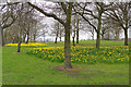 SP0688 : Daffodils in Newtown  by Stephen McKay