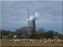 TF7632 : Sheep next to Bircham Windmill, Great Bircham in Norfolk by Richard Humphrey