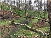 SK2479 : Trees felled by Storm Doris by Graham Hogg