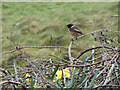 SW5031 : Stonechat on Marazion Marsh by Gareth James