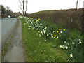 SJ7660 : Daffodils on The Hill near Sandbach by Stephen Craven