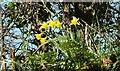 SX1555 : Daffodils above Trebant Water valley by Derek Harper