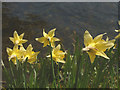 SD4897 : Wild daffodils, Beckmickle Ing by Karl and Ali