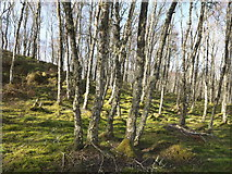 NH6750 : Silver birch in the wood above Loch Lundie by Julian Paren