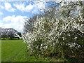 TQ4446 : Hawthorn hedgerow near Skinners Farm by Marathon