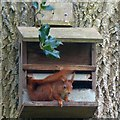 SH5169 : Red squirrel, Plas Newydd, Anglesey by Robin Drayton