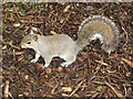 SJ4166 : Grey squirrel, Grosvenor Park, Chester by Graham Robson