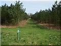TF7805 : Conifer plantations, Cockleycley by Hugh Venables