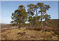 NH4735 : Wall and Scots pine trees, by Boblainy Forest by Craig Wallace