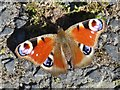 NZ2563 : Peacock butterfly on Hillgate Quay by Mike Quinn