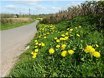 SO4109 : Dandelions in flower by Philip Halling