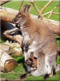 SE6301 : Mother and joey by Graham Hogg
