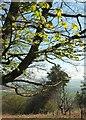 SX7574 : Horse chestnut, Bagtor Woods by Derek Harper