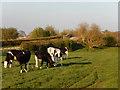 SJ6545 : Cattle by Bennetts Bridge by Stephen McKay