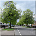 TL4756 : Mowbray Road: spring leaves by John Sutton