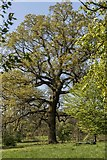 TQ3095 : Oak Tree, Oakwood Park, London N14 by Christine Matthews