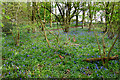 SU7464 : Bluebell Wood on Chill Hill by Des Blenkinsopp
