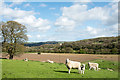 NZ1056 : Sheep at Broad Oak Farm by Trevor Littlewood