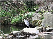 J3731 : Heron on the Shimna in Islands Park, Newcastle by Eric Jones